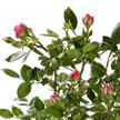 Rosenstämmchen in Pink im Korb