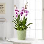 Orchidee Polar Fire im Übertopf