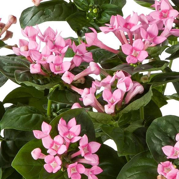Bouvardie in Rosa im Keramik-Übertopf