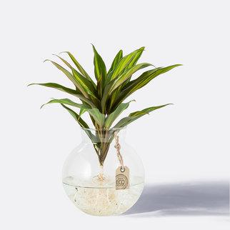 Waterplant Kiwi Pflanze in Glasvase