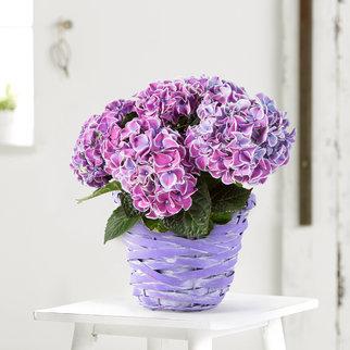 Hortensie Tivoli in Violett im Spankorb