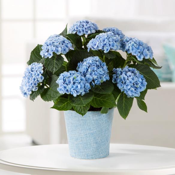 Hortensie in Blau im Stoff-Übertopf