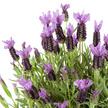 Lavendel im Übertopf in Terrakotta-Optik mit Lavendel-Schokolade