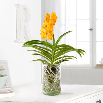 Vanda Orchidee in Gelb in Glasvase