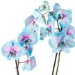 Orchidee in Blau und Rosa im Keramik-Übertopf