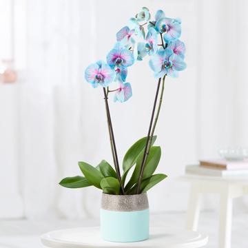 Orchidee in Blau und Rosa
