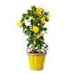 Dipladenia in Gelb im Weidenkorb