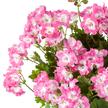 Edelgeranien-Stämmchen in Rosa im Korb