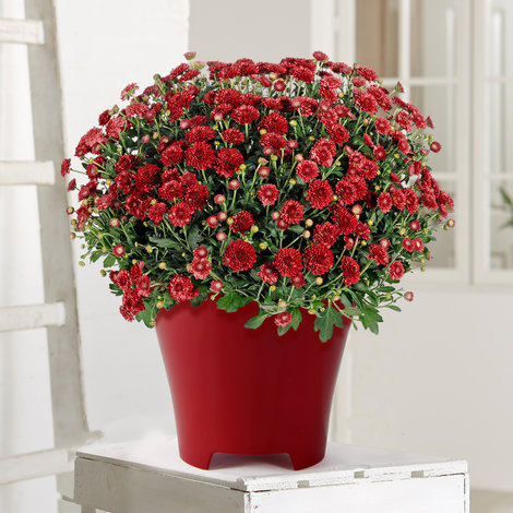 Chrysantheme in Rot im Übertopf