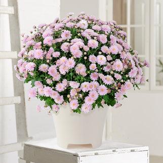Chrysantheme in Rosa im Übertopf