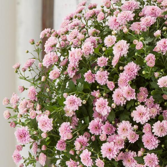 Chrysantheme in Rosa im Weidenkorb