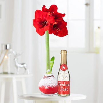 Amaryllis in Rot in Wachs mit Piccolo Frohes Fest