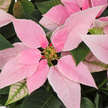 Weihnachtsstern in Rosa im Übertopf