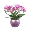 Orchidee Grand Magnifique im Design-Übertopf