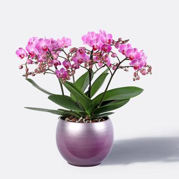 Orchidee Grand Magnifique mit Design-Übertopf