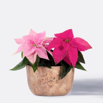 Weihnachtssterne in Pink und Rosa mit Übertopf