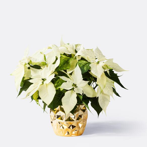 https://static.blume2000.de/pictures/100972/022_Weihnachtsstern-mit-Gold-Topf.jpg