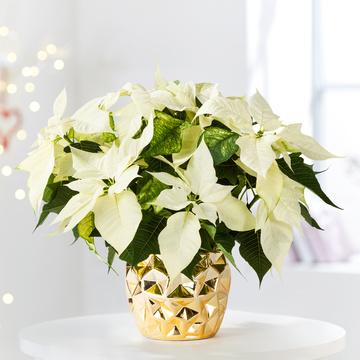 Weihnachtsstern im Gold-Topf