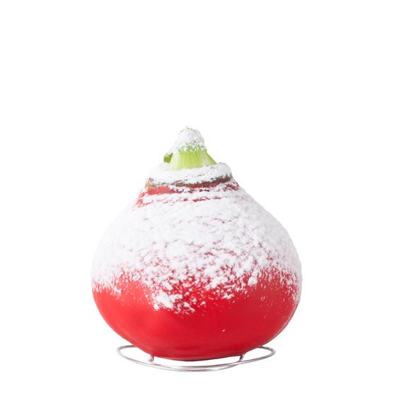 Amaryllis No-Water in Rot mit Lindt Herz