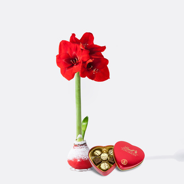 Amaryllis No-Water in Rot mit Lindt Herz