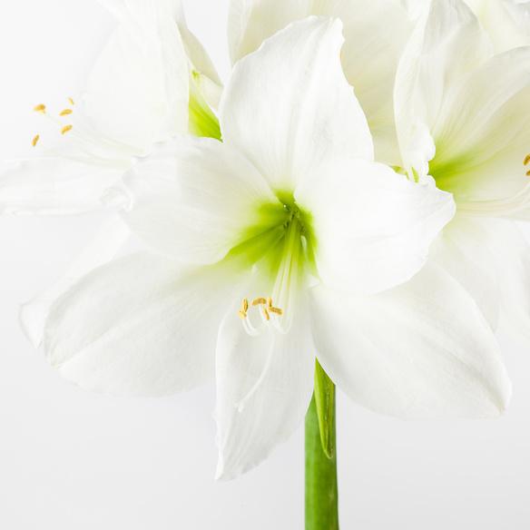 Amaryllis No-Water in Weiß mit Chocri Kleine Weltreise