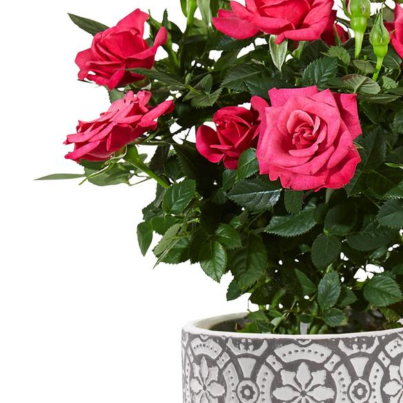 Topfrose in Pink im Keramik-Übertopf