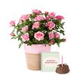 Topfrose in Rosé mit Geburtstagsküchlein