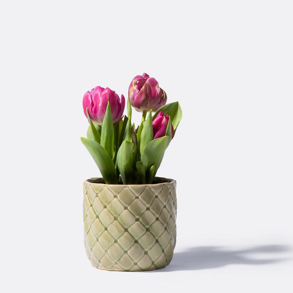 Tulpen in Pink mit Übertopf