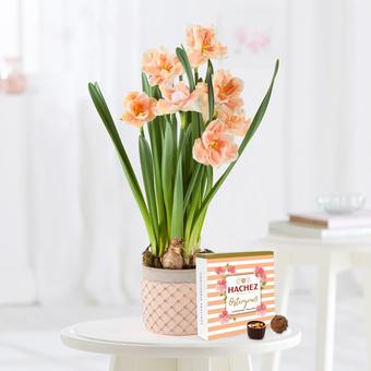 Apricot Whirl Narzissen mit Hachez Ostergruß