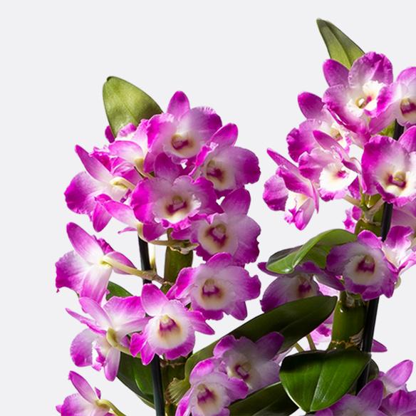 Dendrobium Nobilé in Violett mit Übertopf