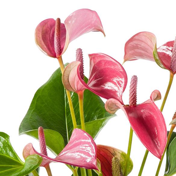 Flamingoblume Water Plant in Pink mit Hachez Zum Geburtstag