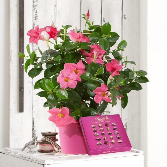 Dipladenia in Pink mit Lindt Mini Pralinés