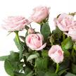 Topfrose in Rosa mit Stoff-Übertopf