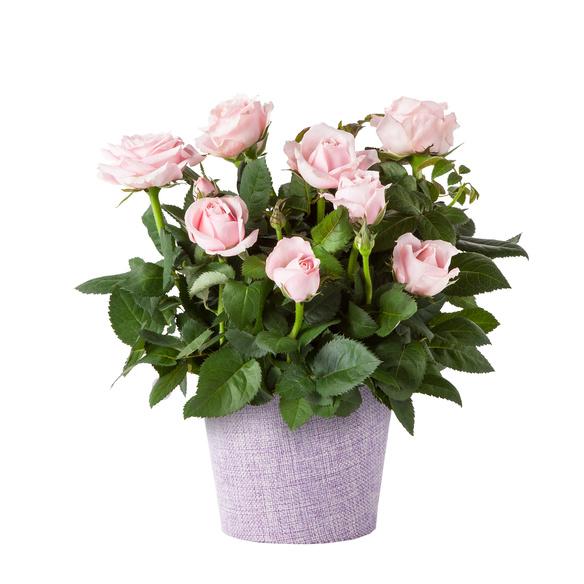 Topfrose in Rosa im Stoff-Übertopf