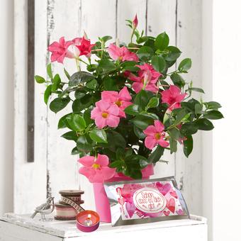 Dipladenia in Pink mit Glückslicht Schön, dass es Dich gibt