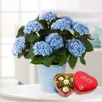 Hortensie in Blau mit Lindt Herz