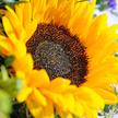 Blumenstrauß  Sonnenlicht mit Granatapfel Fruchtsecco
