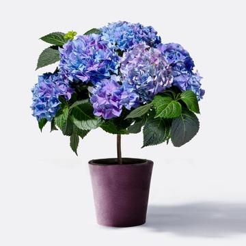 Hortensienstämmchen in Blau mit Übertopf
