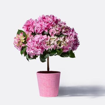 Hortensienstämmchen in Rosa mit Übertopf