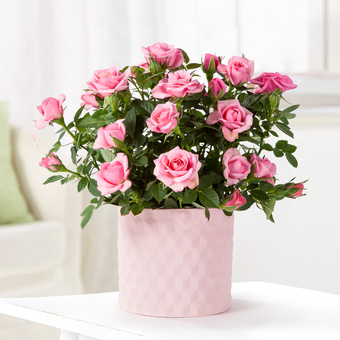 Topfrose in Rosé im Keramik-Übertopf