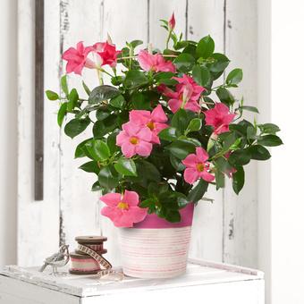 Dipladenia in Pink im Keramik-Übertopf