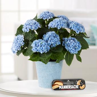 Hortensie in Blau mit Niederegger Marzipanbrot Männersachen