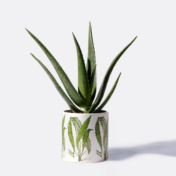 Aloe Vera mit Motiv-Übertopf