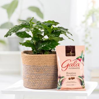 Kaffeepflanze im Übertopf mit GRATIS Gala Filterkaffee