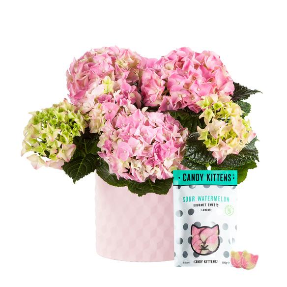 Hortensie in Rosa im Keramik-Übertopf mit Fruchtgummi