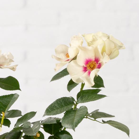 Bienen-Rose im Jutesack