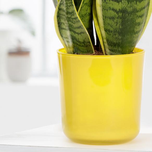 Sanseverie im Glasübertopf in Gelb