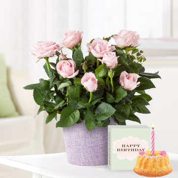 Topfrose in Rosa mit Geburtstagsküchlein