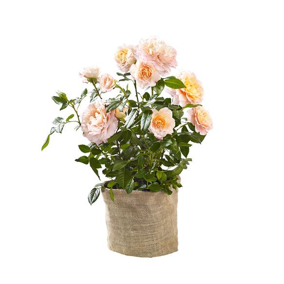 Pflanze  Duftrose Augusta Luise im Jutesack