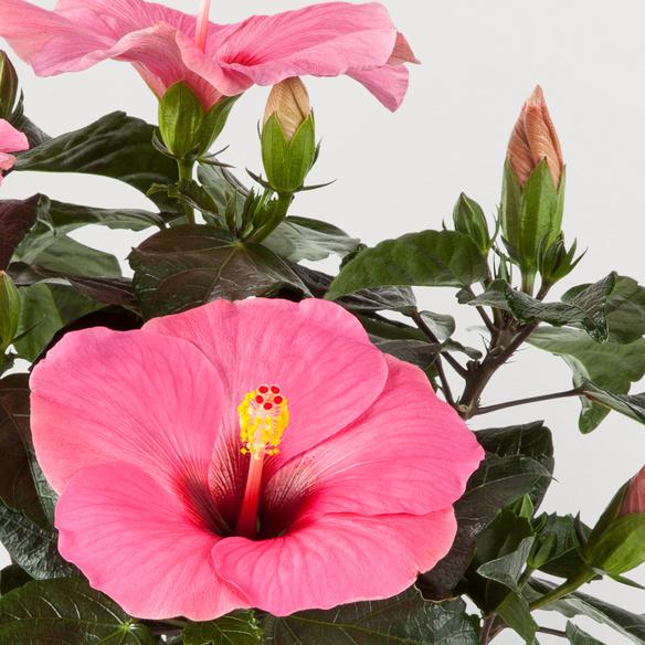 Hibiskus in Pink im Übertopf